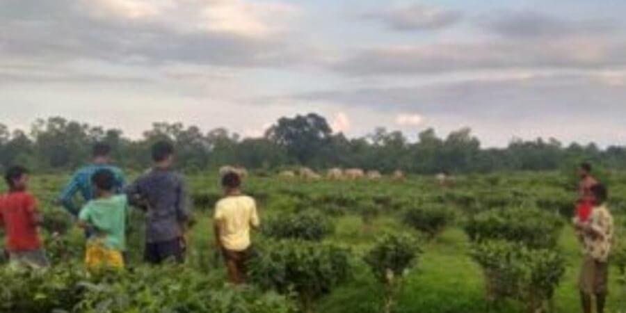 গোলাঘাট জেলায় হাতি-মানুষের সংঘাত ক্ৰমেই বাড়ছে