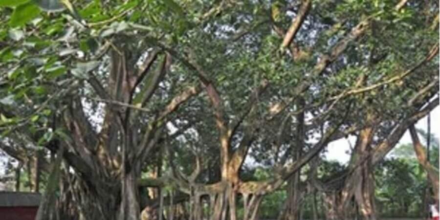 বন্যার কবলে বজালির ২০৭ বছরের পুরনো বটবৃক্ষ